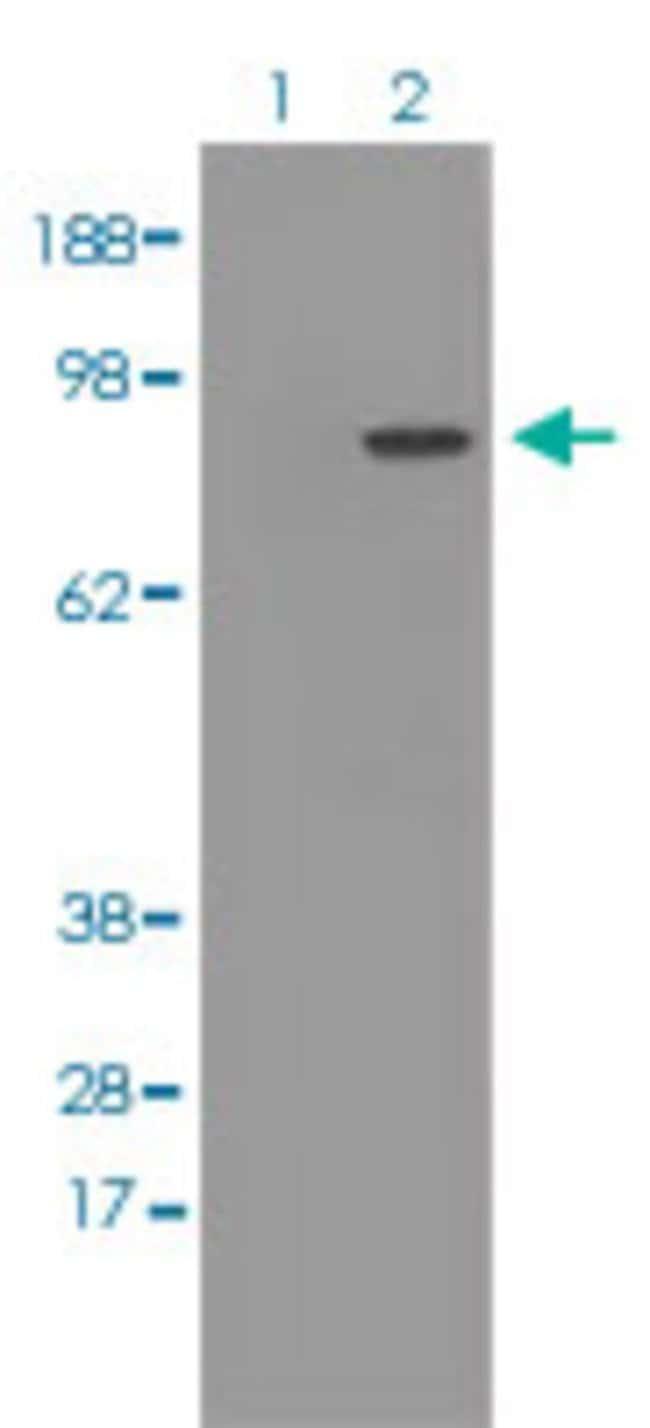 POR Mouse anti-Human, Clone: 6C4, Abnova 50μL; Unlabeled:Antibodies