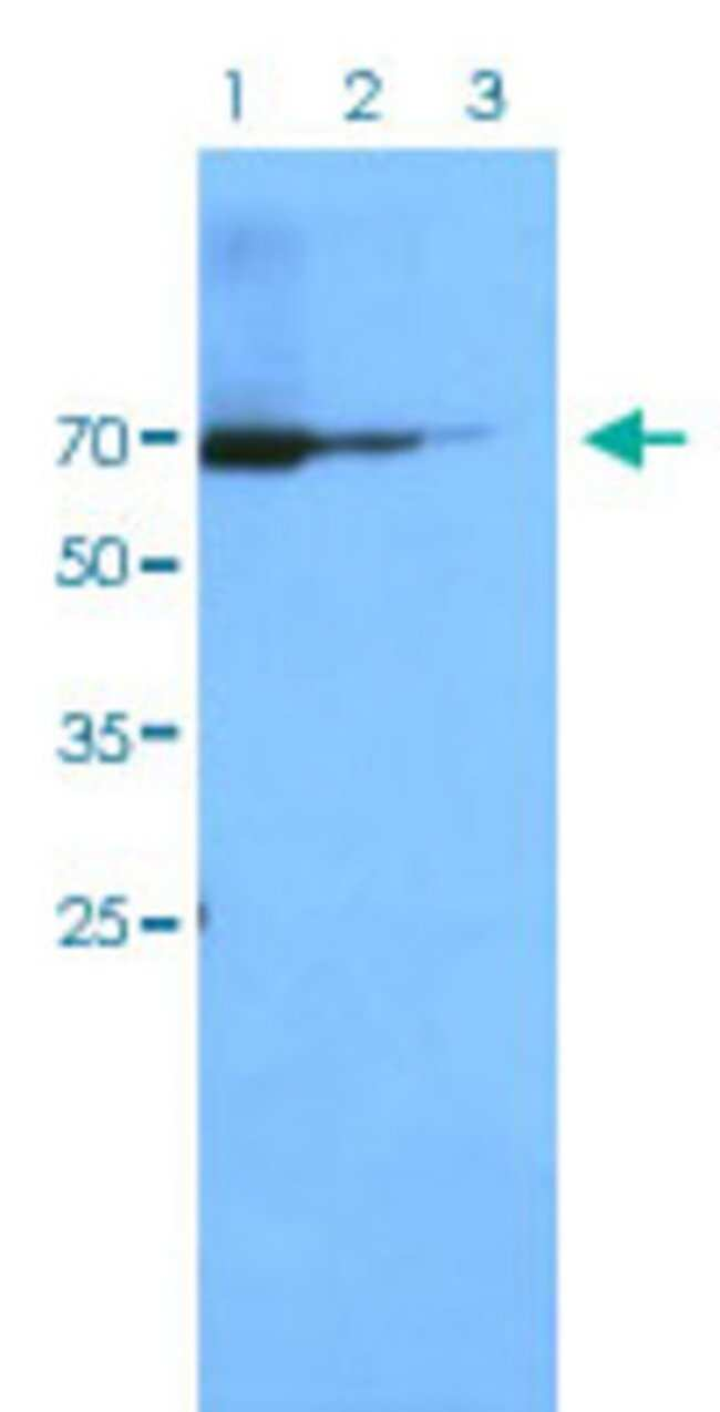 STAT1 Mouse anti-Human, Clone: AT1FA, Abnova 50μL; Unlabeled:Antibodies