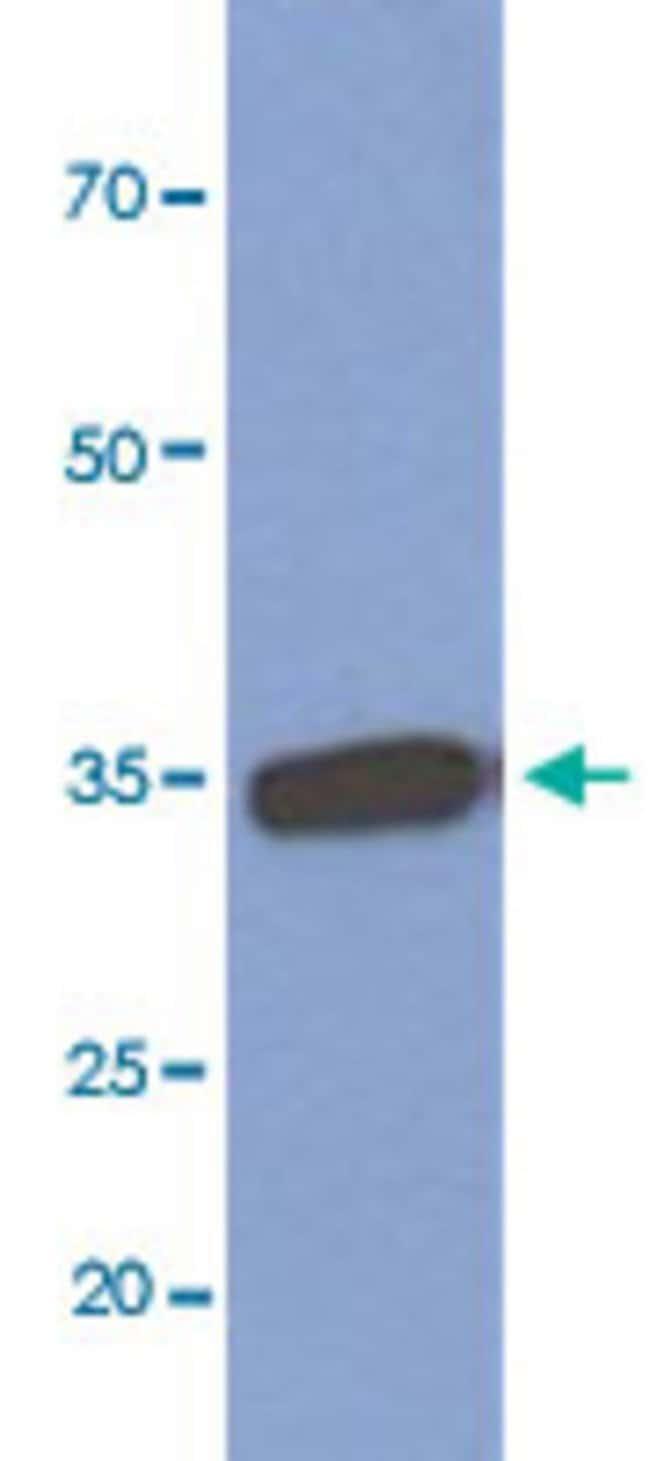 MFAP4 Mouse anti-Human, Clone: AT12D11, Abnova 50μL; Unlabeled:Antibodies