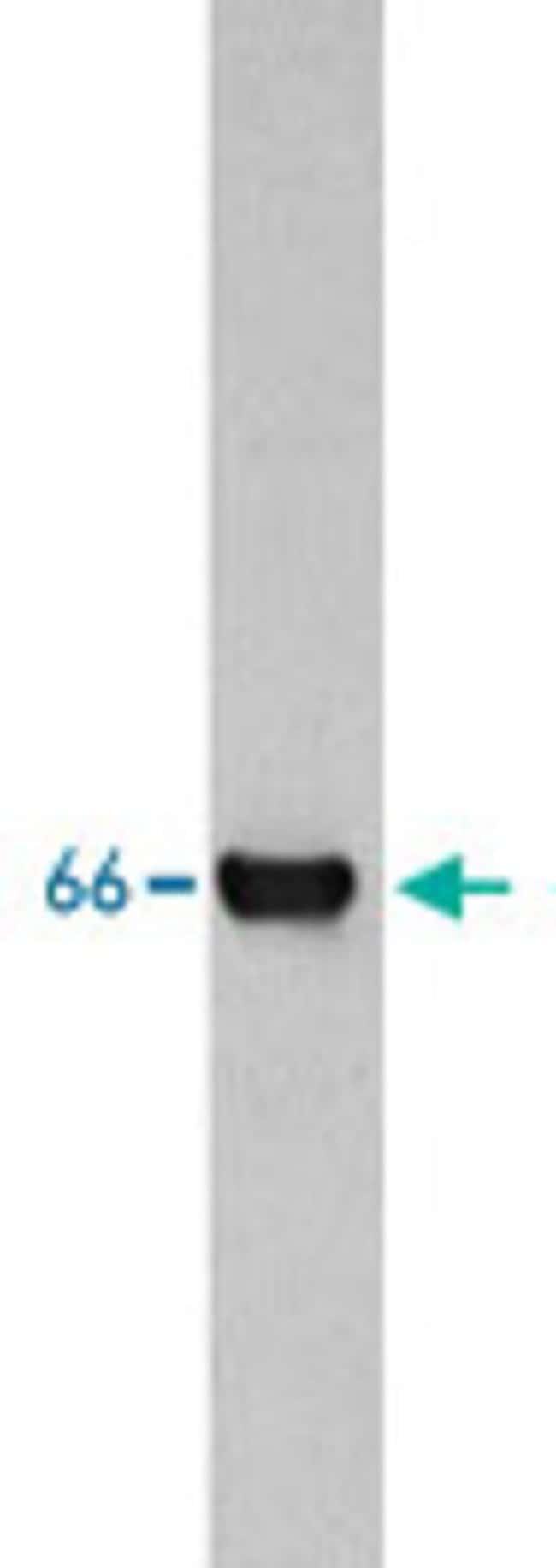 INA Mouse anti-Human, Rat, Clone: 2E3, Abnova 100μL; Unlabeled:Antibodies