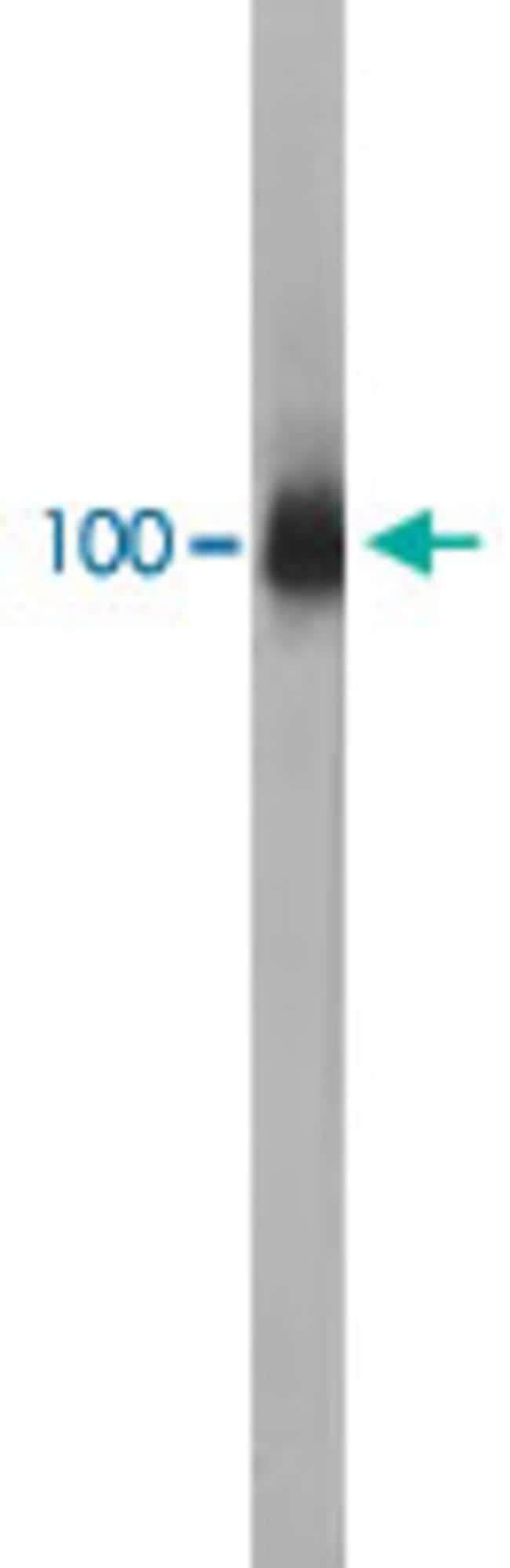 LAMP1 Mouse anti-Human, Clone: 5H6, Abnova 50μL; Unlabeled:Antibodies