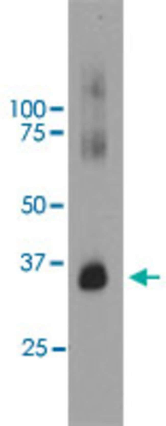 RHO Mouse anti-Bovine, Human, Clone: B630, Abnova 50μL; Unlabeled:Antibodies