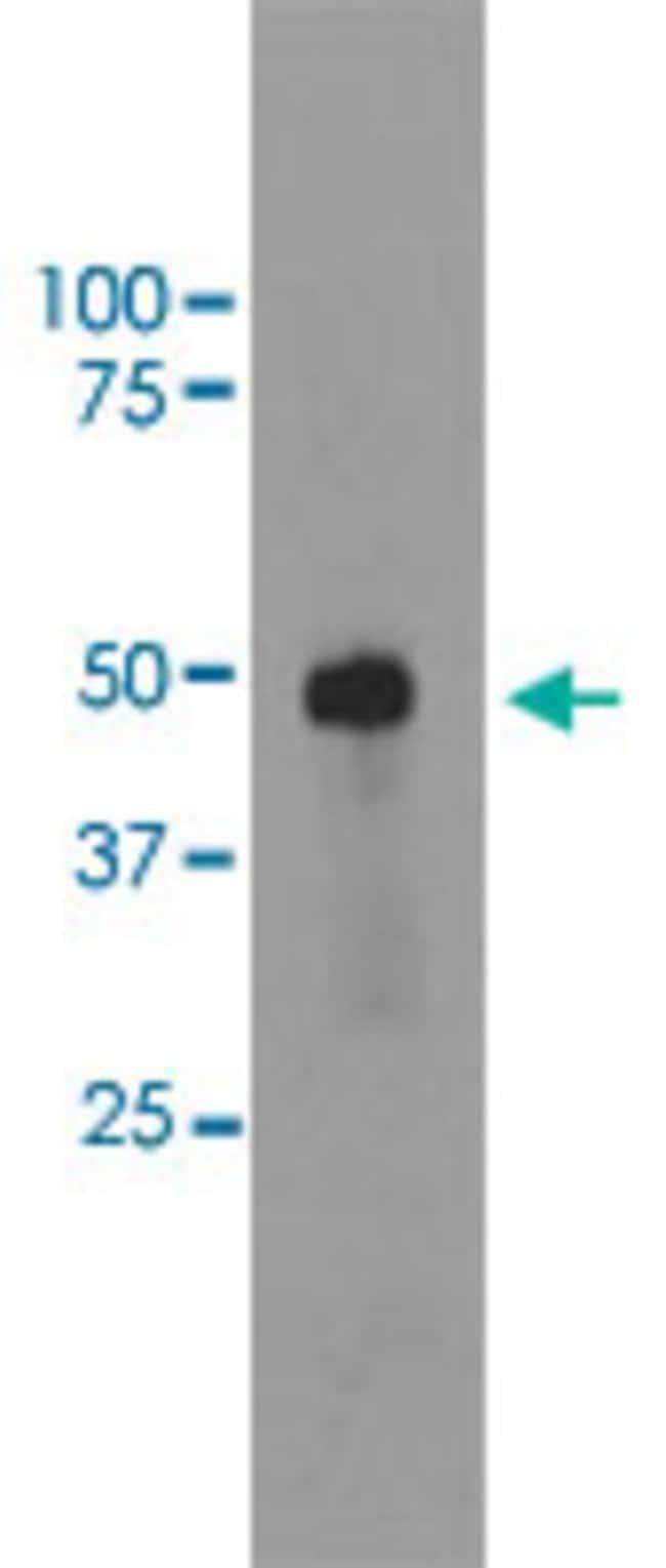 SAG Mouse anti-Bovine, Human, Clone: S128, Abnova 50μL; Unlabeled:Antibodies