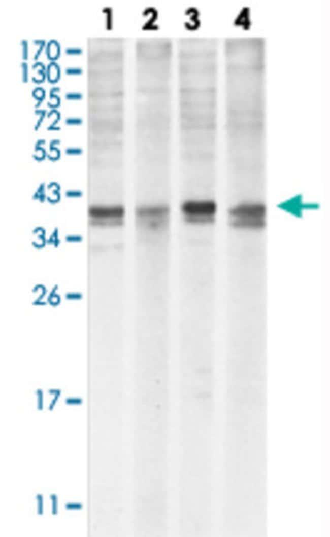 MCL1 Mouse anti-Human, Clone: 8C6 + 8C6D4B1, Abnova 50μL; Unlabeled:Antibodies