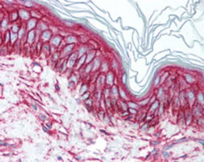 CD9 Mouse anti-Human, Clone: HI9a, Abnova 50μg; Unlabeled:Antibodies
