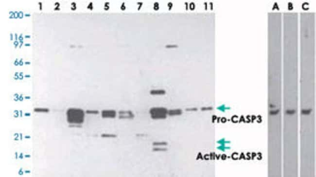 CASP3 Mouse anti-Human, Clone: 31A1067, Abnova 50μg; Unlabeled:Antibodies
