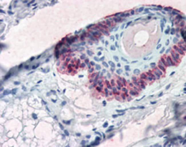 KRT15 Mouse anti-Human, Clone: 15K01, Abnova 50μL; Unlabeled:Antibodies