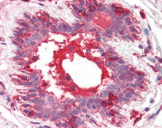 HGF Mouse anti-Human, Mouse, Clone: 7-2, Abnova 50μg; Unlabeled:Antibodies