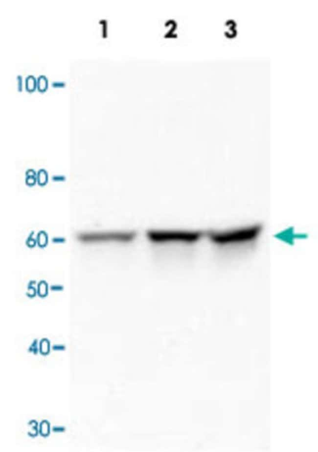 SRC Mouse anti-Human, Clone: 5A18, Abnova 50μg; Unlabeled:Antibodies