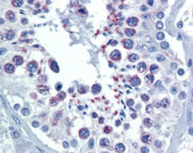DIABLO Mouse anti-Human, Clone: 79-1-83, Abnova 50μg; Unlabeled:Antibodies