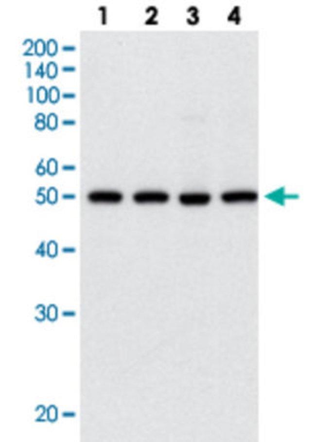 HDAC3 Mouse anti-Human, Clone: 7G6C5, Abnova 50μL; Unlabeled:Antibodies