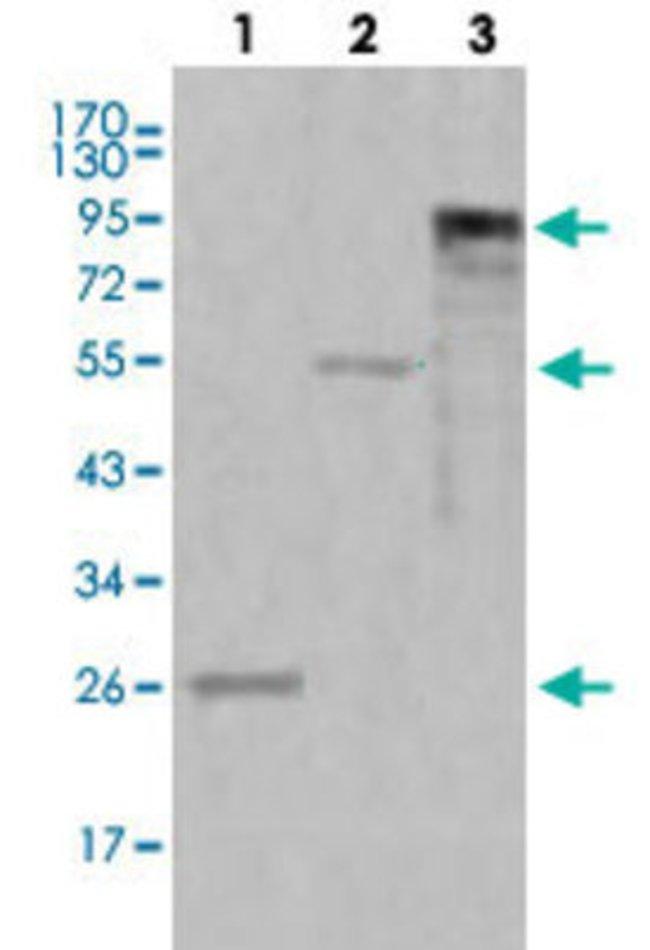 MPO Mouse anti-Human, Clone: 9B12G7, Abnova 50μL; Unlabeled:Antibodies