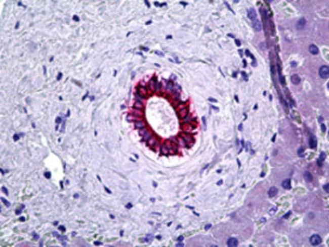 KRT8 Mouse anti-Human, Clone: C-51, Abnova 50μg; Unlabeled:Antibodies