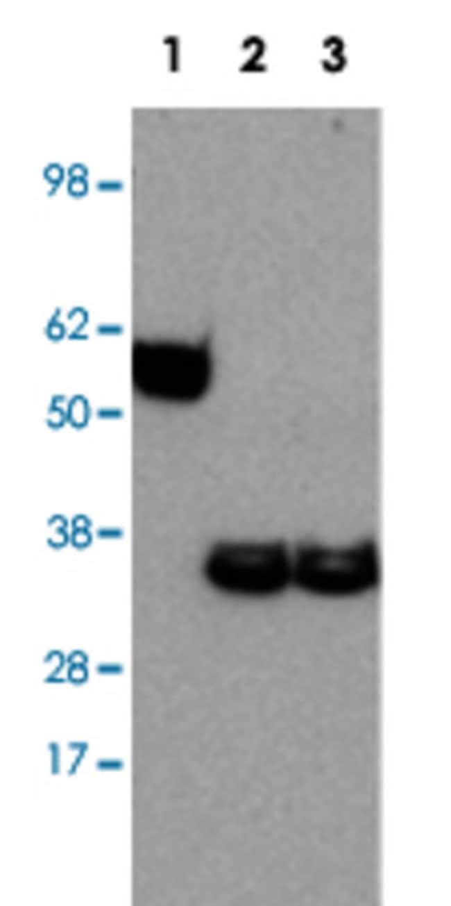 EBI3 Rat anti-Human, Mouse, Clone: DNT27, Abnova 50μg; Unlabeled:Antibodies