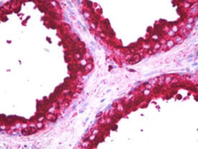 CD63 Mouse anti-Human, Clone: NKI/C-3, Abnova 50μL; Unlabeled:Antibodies