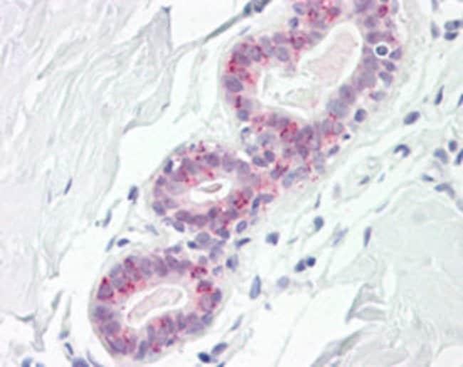 CDK7 Mouse anti-Human, Clone: E3E, Abnova 50μL; Unlabeled:Antibodies
