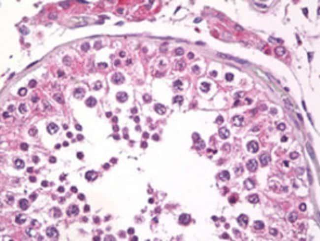 TMBIM6 Mouse anti-Human, Clone: 20F565, Abnova 50μg; Unlabeled:Antibodies
