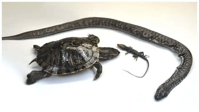 Reptile Survey Set