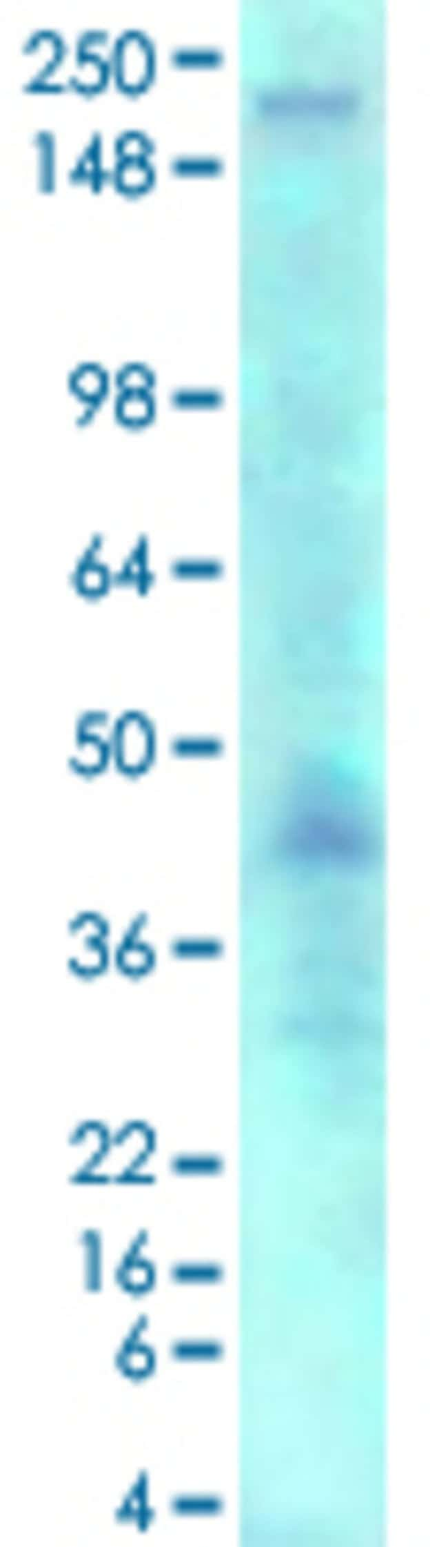 ANK3 Mouse anti-Human, Rat, Clone: S106-20, Abnova 50μg; Unlabeled:Antibodies