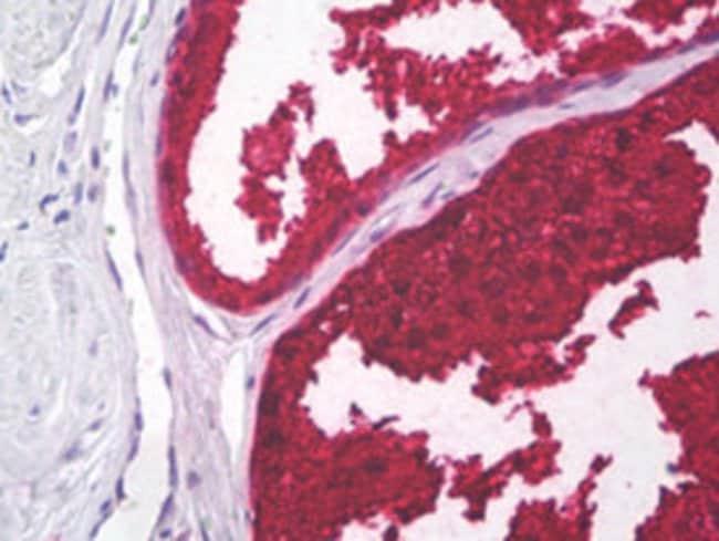 KLK3 Mouse anti-Human, Clone: A5D5, Abnova 50μg; Unlabeled:Antibodies