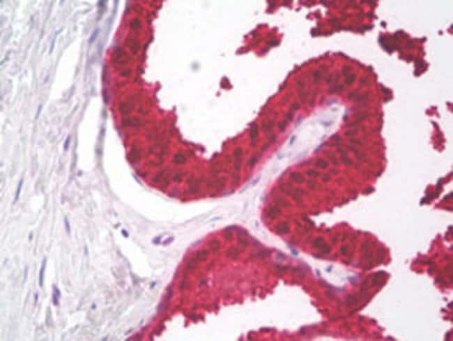 KLK3 Mouse anti-Human, Clone: C3F12, Abnova 50μg; Unlabeled:Antibodies