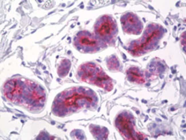 MUC1 Mouse anti-Human, Clone: 214D4, Abnova 50μg; Unlabeled:Antibodies