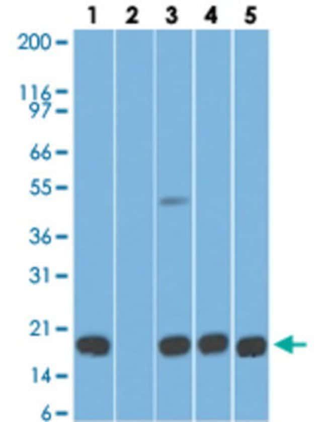 AGR2 Mouse anti-Human, Mouse, Clone: IMG10E2, Abnova 50μg; Unlabeled:Antibodies