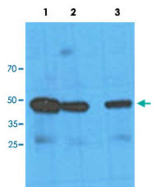 NANS Mouse anti-Human, Clone: AT1G6, Abnova 50μL; Unlabeled:Antibodies