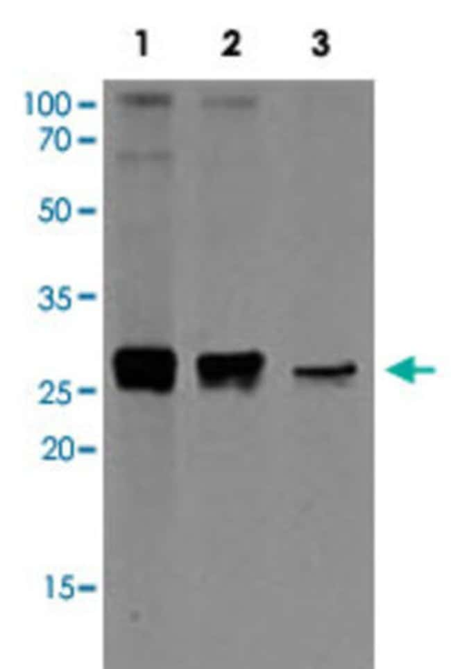 APOA1 Mouse anti-Human, Clone: AT1E12, Abnova 50μL; Unlabeled:Antibodies