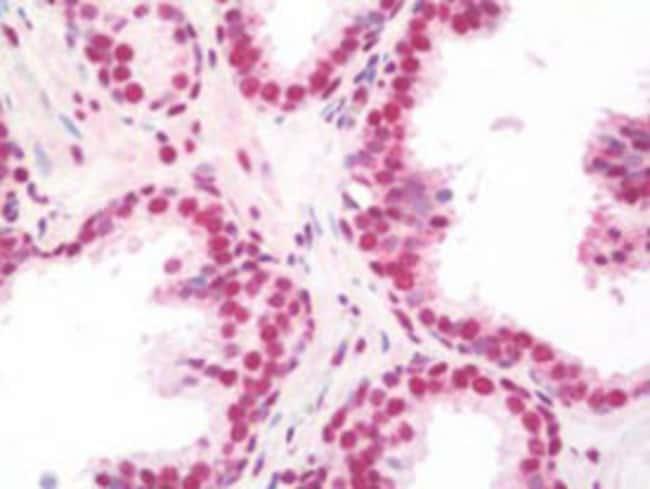 WHSC2 Mouse anti-Human, Clone: 6B11H8, Abnova 50μg; Unlabeled:Antibodies