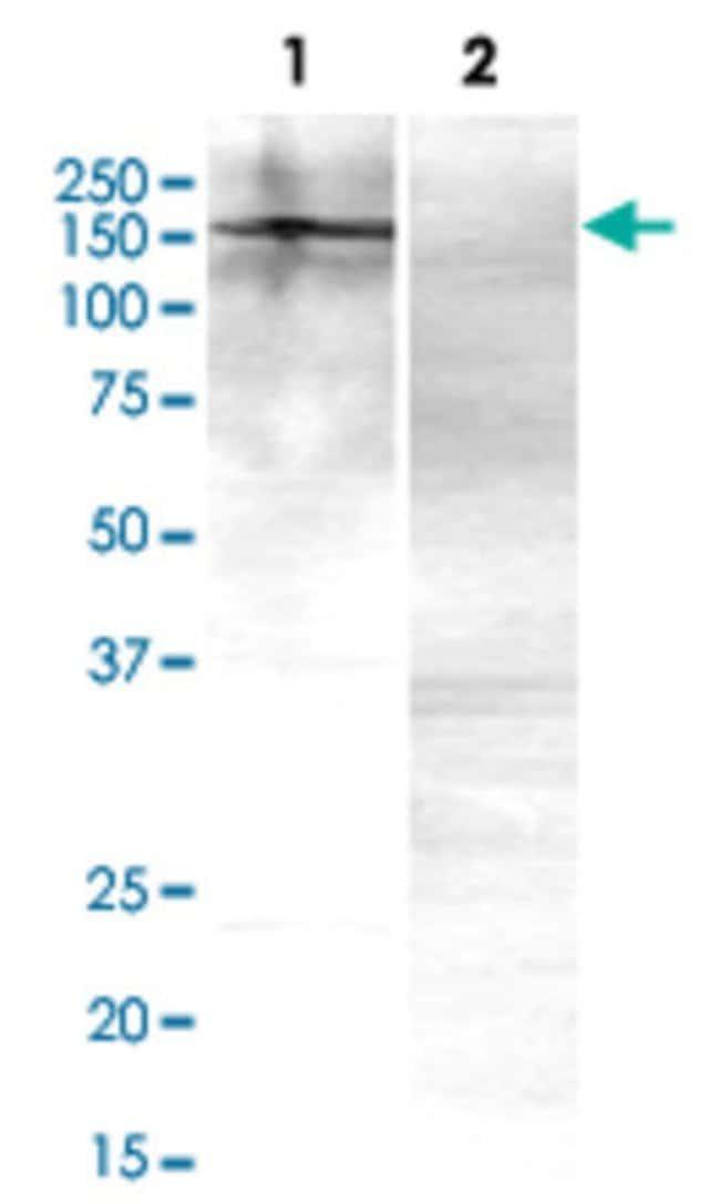 ANK2 Mouse anti-Human, Mouse, Clone: S105-17, Abnova 50μg; Unlabeled:Antibodies