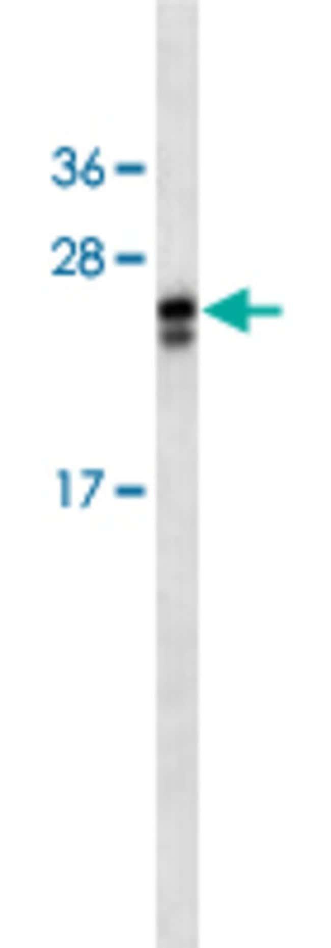 APOA1 Mouse anti-Human, Mouse, Clone: 464CT10.4.4, Abnova 50μL; Unlabeled:Antibodies