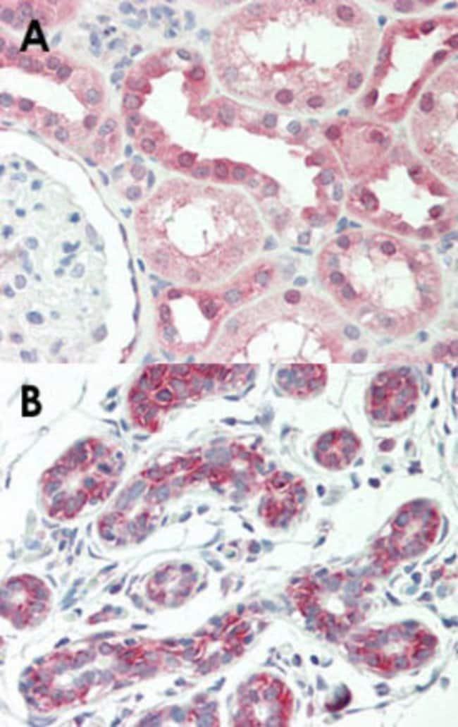 AVPR1A Mouse anti-Human, Mouse, Clone: 721CT25.2.1, Abnova 200μL; Unlabeled:Antibodies