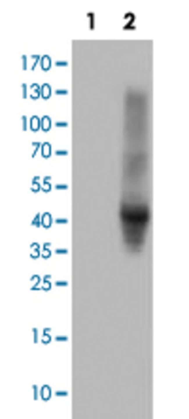 SERPINE2 Mouse anti-Human, Clone: 2C9, Abnova 50μL; Unlabeled:Antibodies