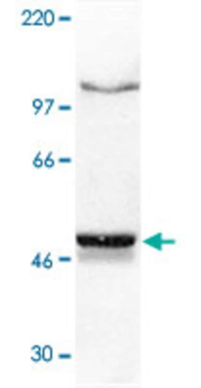 NFKB1 Mouse anti-Human, Clone: 4D1, Abnova 50μg; Unlabeled:Antibodies