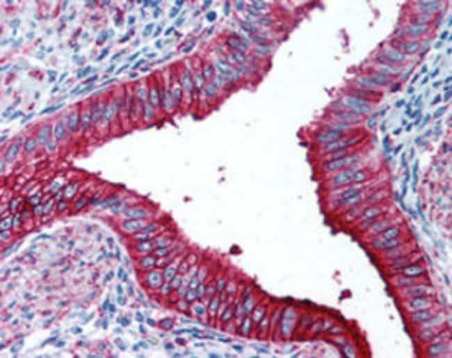 FUT4 Mouse anti-Human, Clone: HI98, Abnova 50μg; Unlabeled:Antibodies