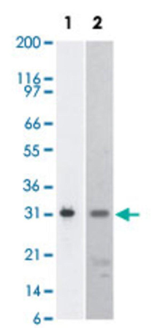 BIRC7 Mouse anti-Human, Clone: 88C570, Abnova 50μg; Unlabeled:Antibodies