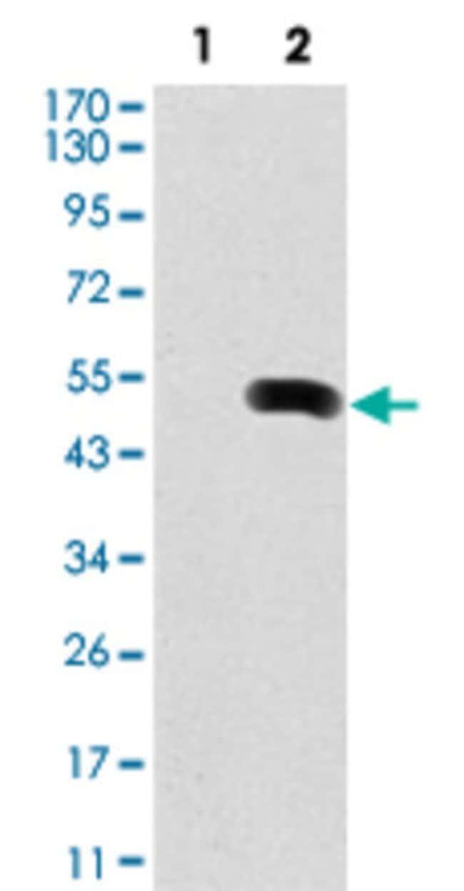 FN1 Mouse anti-Human, Clone: 2F4, Abnova 50μL; Unlabeled:Antibodies