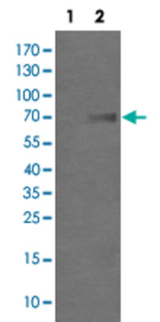 GLB1 Mouse anti-Human, Clone: 2F6, Abnova 50μL; Unlabeled:Antibodies