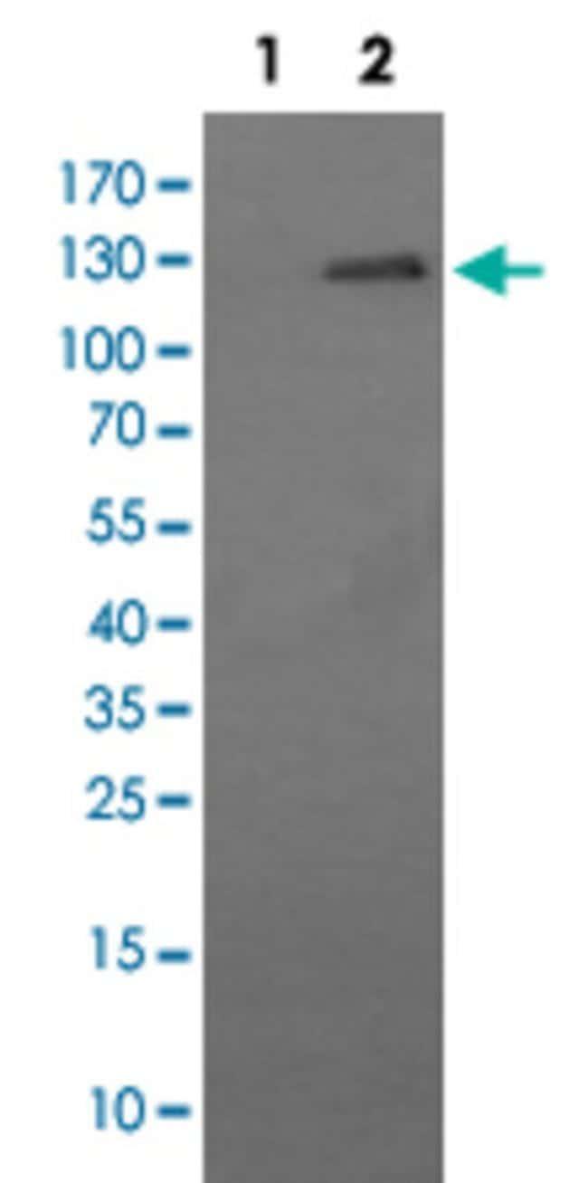 CD163 Mouse anti-Human, Clone: 2G12, Abnova 50μL; Unlabeled:Antibodies