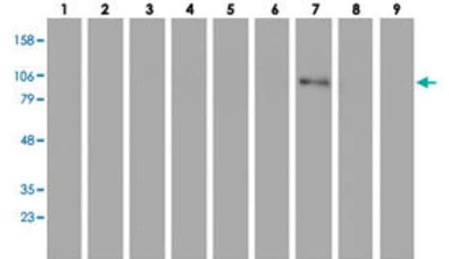 C1R Mouse anti-Dog, Human, Clone: 1F1, Abnova 50μL; Unlabeled:Antibodies