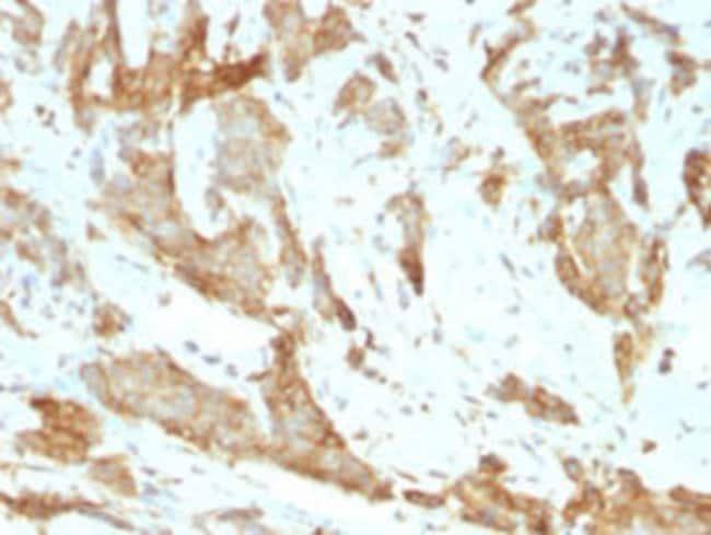 HSP90B1 Rat anti-Chicken, Human, Clone: SPM249, Abnova 100μg; Unlabeled:Antibodies