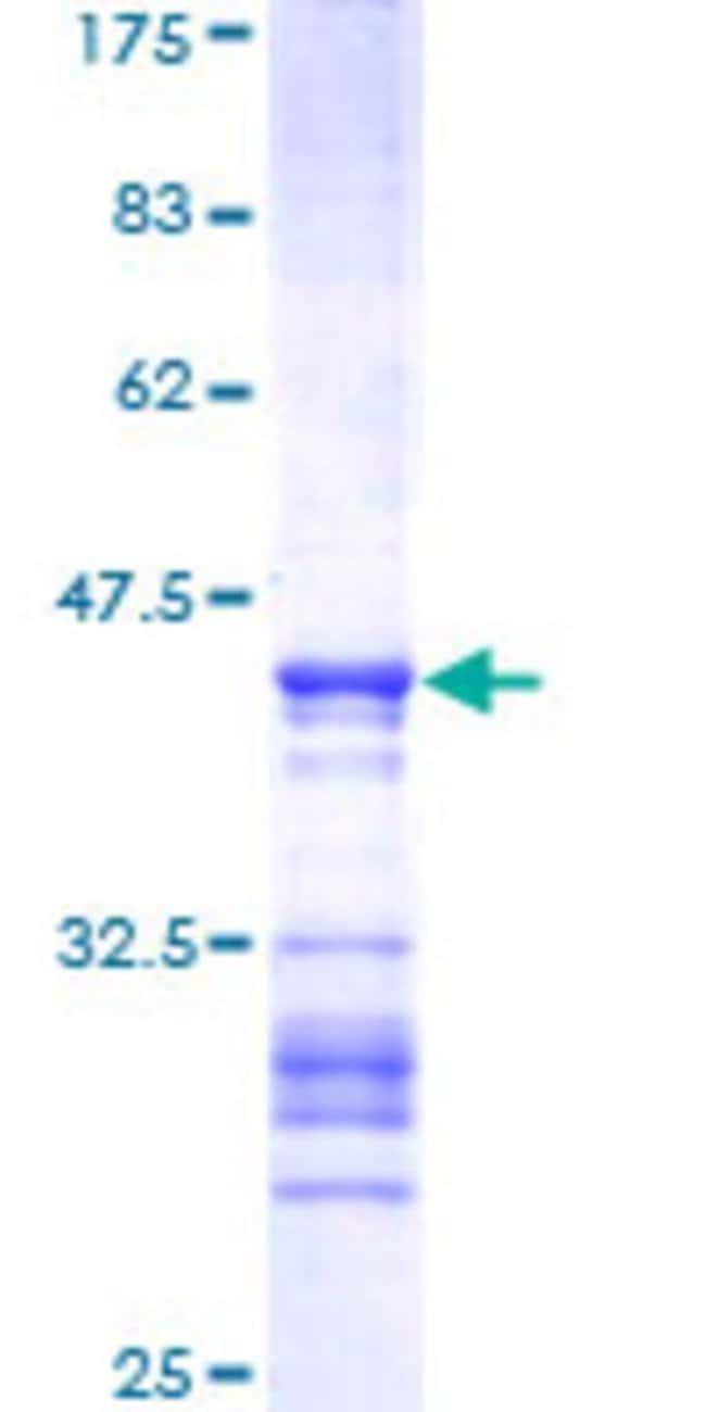 Abnova Human MAPK12 Partial ORF (AAH15741, 251 a.a. - 367 a.a.) Recombinant