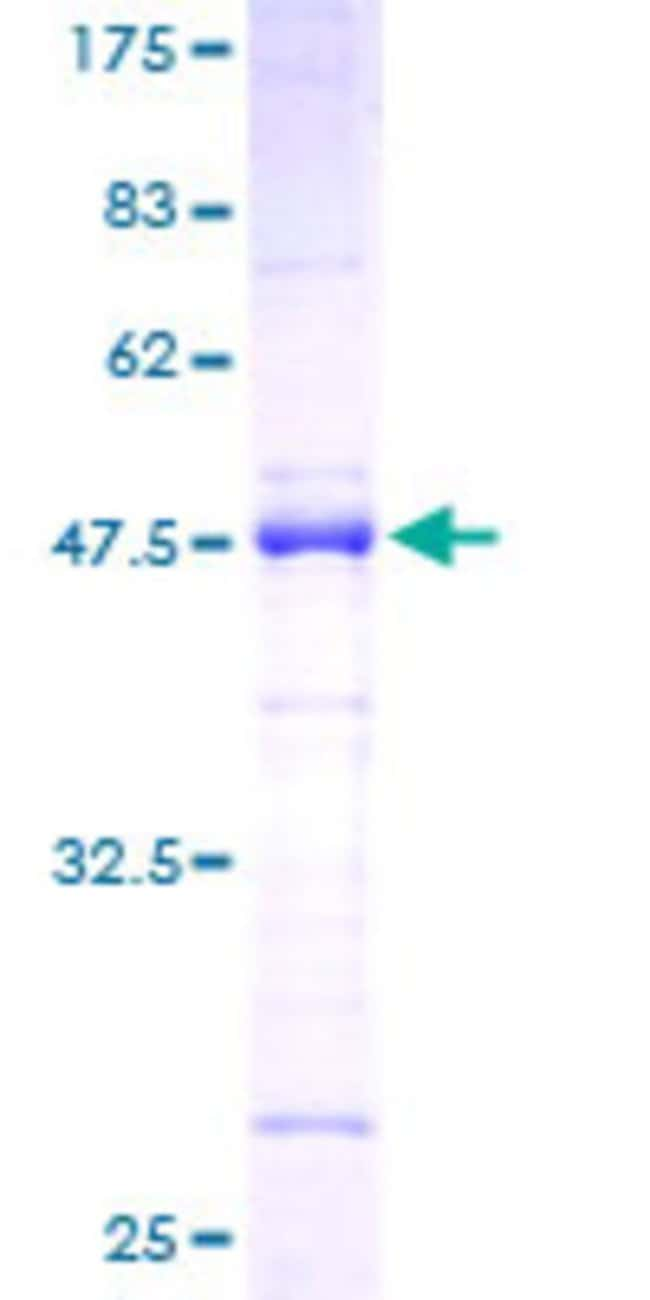 Abnova™ Human SFRS2 Full-length ORF (AAH66958, 1 a.a. - 179 a.a.) Recombinant Protein with GST-tag at N-terminal 10μg Abnova™ Human SFRS2 Full-length ORF (AAH66958, 1 a.a. - 179 a.a.) Recombinant Protein with GST-tag at N-terminal