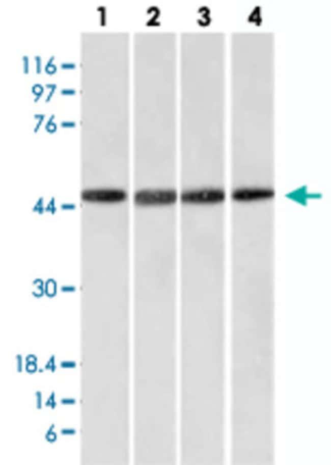 FBXO5 Mouse anti-Human, Clone: EMI1/1176, Abnova 100μg; Unlabeled:Antibodies