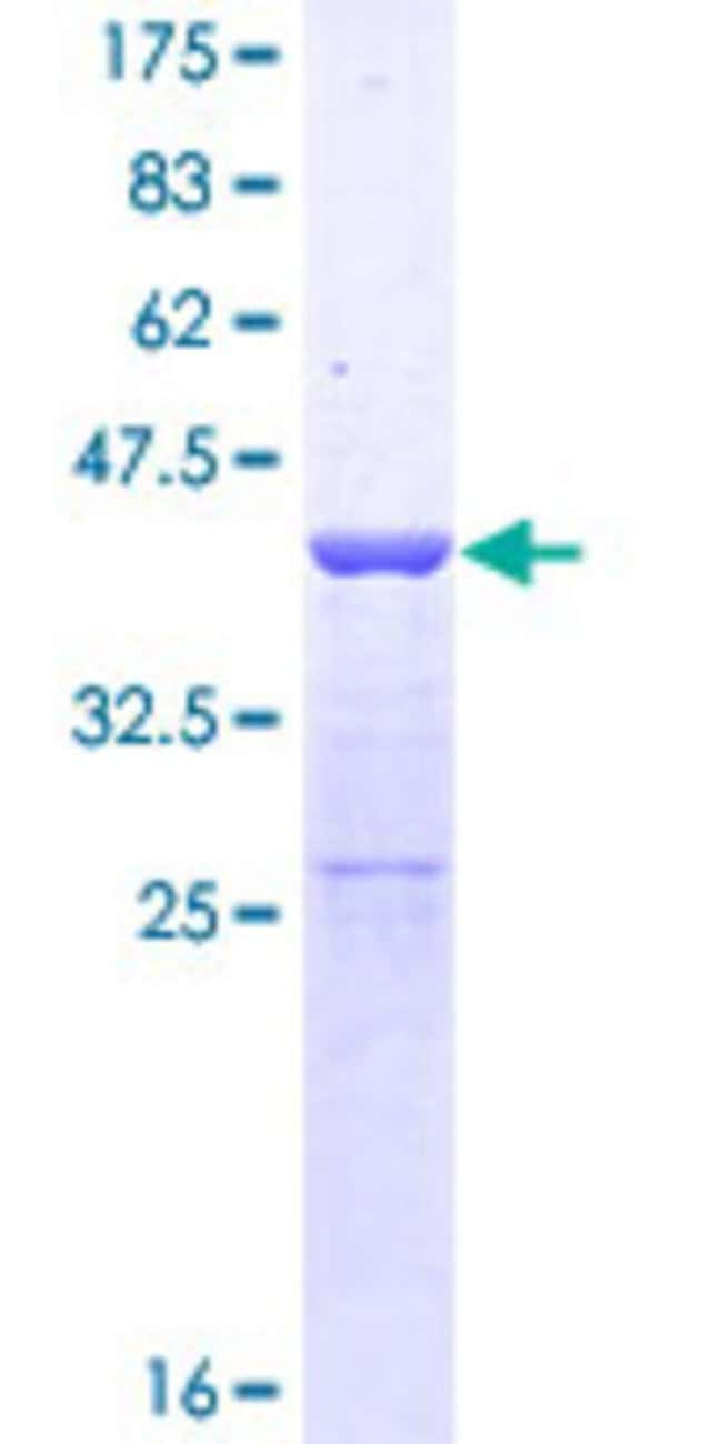 Abnova™Human SUPT4H1 Full-length ORF (NP_003159.1, 1 a.a. - 117 a.a.) Recombinant Protein with GST-tag at N-terminal 25μg Abnova™Human SUPT4H1 Full-length ORF (NP_003159.1, 1 a.a. - 117 a.a.) Recombinant Protein with GST-tag at N-terminal