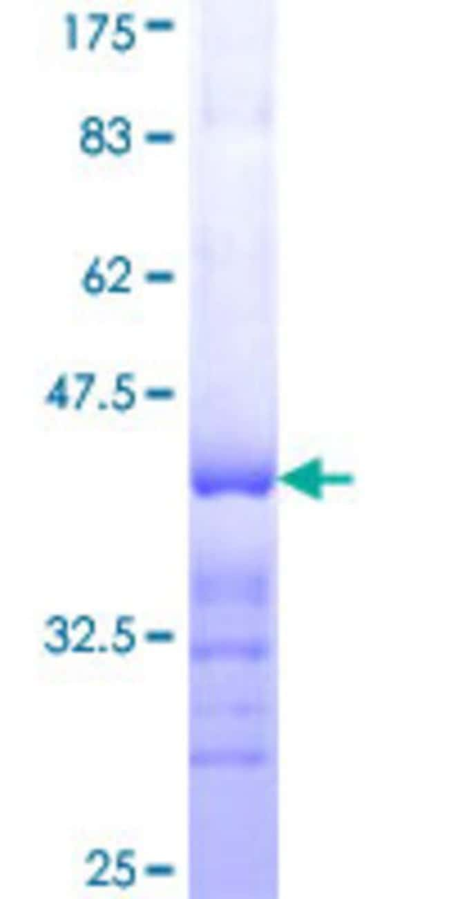 Abnova™Human TAF4 Partial ORF (NP_003176, 715 a.a. - 800 a.a.) Recombinant Protein with GST-tag at N-terminal 10μg Abnova™Human TAF4 Partial ORF (NP_003176, 715 a.a. - 800 a.a.) Recombinant Protein with GST-tag at N-terminal