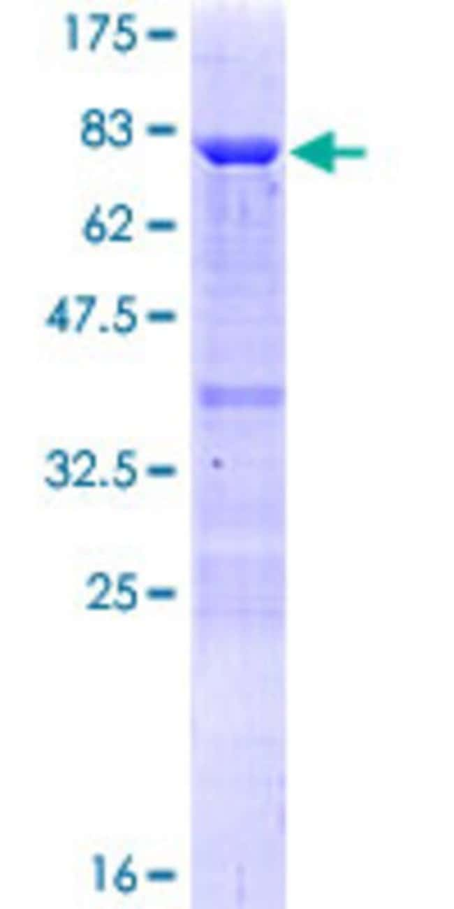 Abnova™Human TAF7 Full-length ORF (NP_005633.2, 1 a.a. - 349 a.a.) Recombinant Protein with GST-tag at N-terminal 10μg Abnova™Human TAF7 Full-length ORF (NP_005633.2, 1 a.a. - 349 a.a.) Recombinant Protein with GST-tag at N-terminal