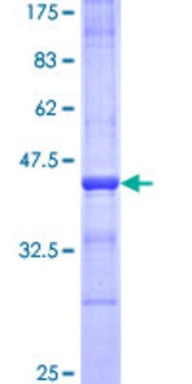 Abnova™Human CNTN2 Partial ORF (NP_005067, 825 a.a. - 923 a.a.) Recombinant Protein with GST-tag at N-terminal 10μg Abnova™Human CNTN2 Partial ORF (NP_005067, 825 a.a. - 923 a.a.) Recombinant Protein with GST-tag at N-terminal