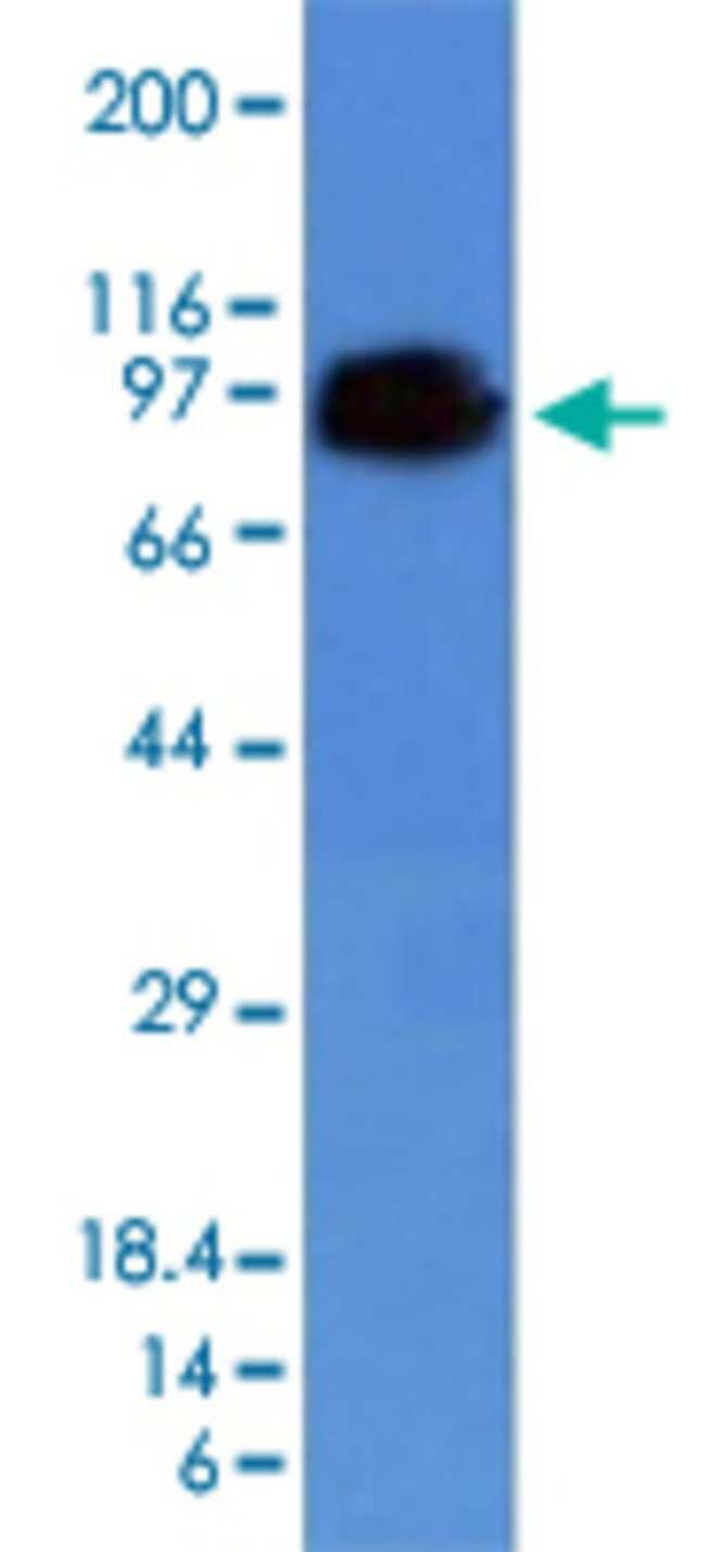 CD44 Mouse anti-Human, Clone: HCAM/918, Abnova 100μg; Unlabeled:Antibodies